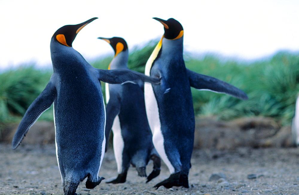 Group of King Penguin (Aptenodytes patagonicus) chicks just about to start moulting. Salisbury Plain, South Georgia, Subantarctic