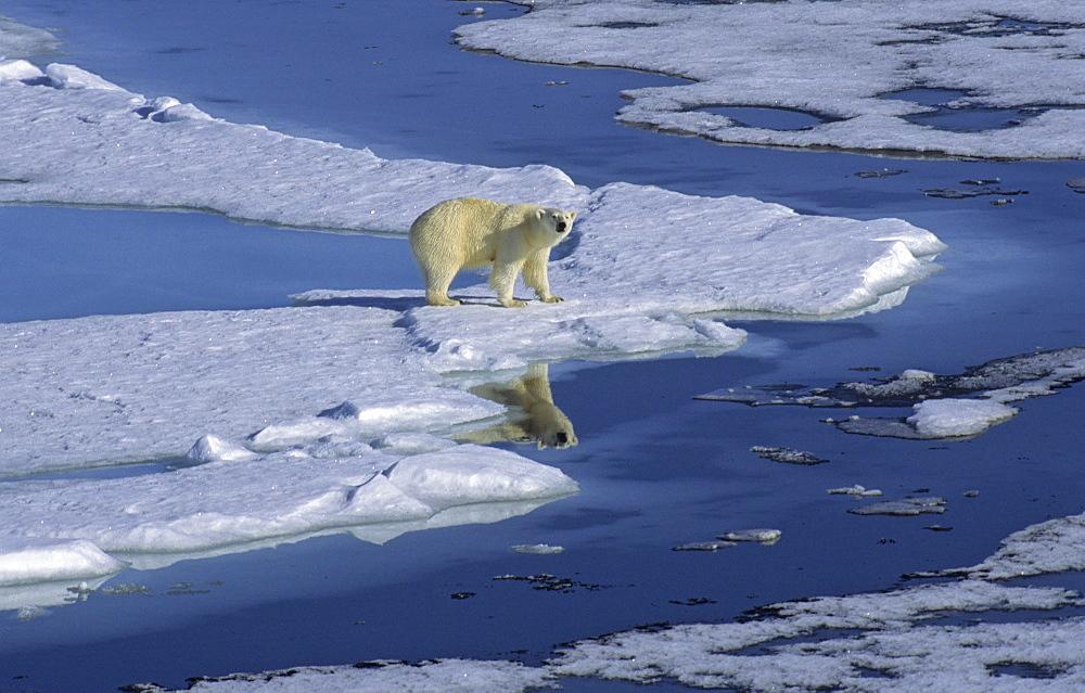 Polar Bear (Ursus Maritimus) and its mirroring in a meltwater pond. North Spitsbergen, Svalbard - 909-23