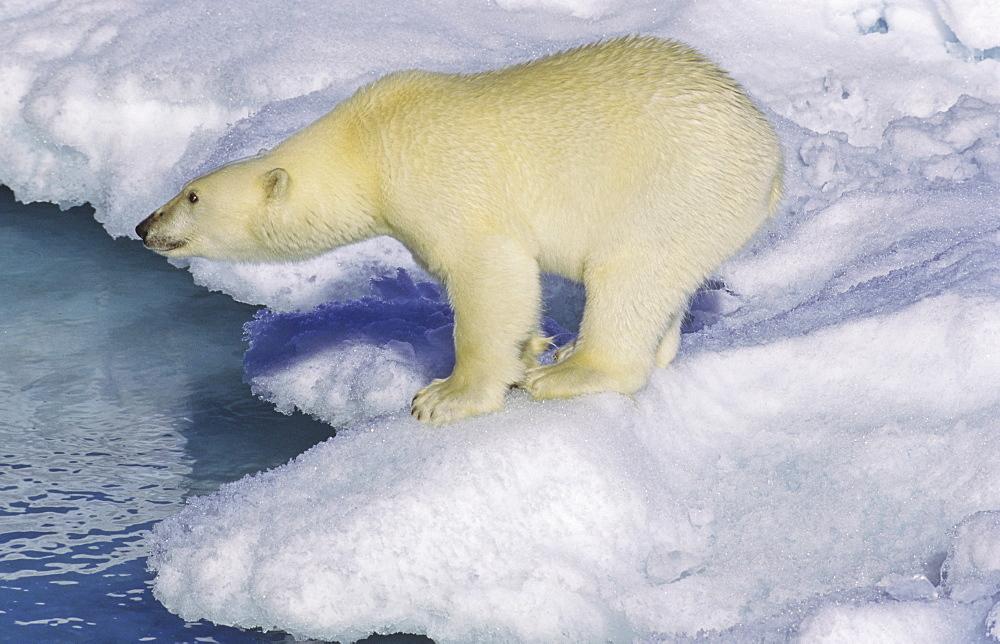 Polar bear (Ursus maritimus) on an ice floe. Scoresbysund, East Greenland