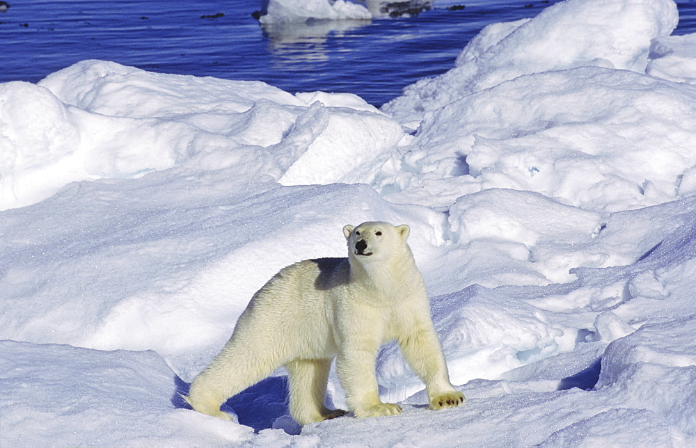 Curious polar bear (Ursus maritimus) on an ice floe. Scoresbysund, East Greenland