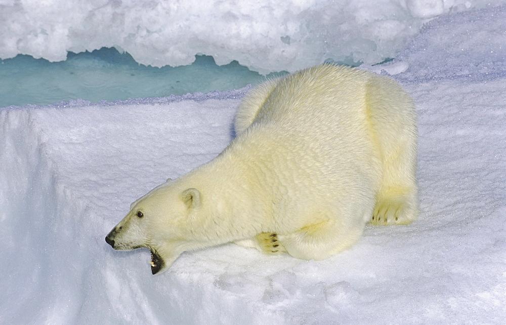 Curious polar bear (Ursus maritimus) on an ice floe. Scoresbysund, East Greenland - 909-28