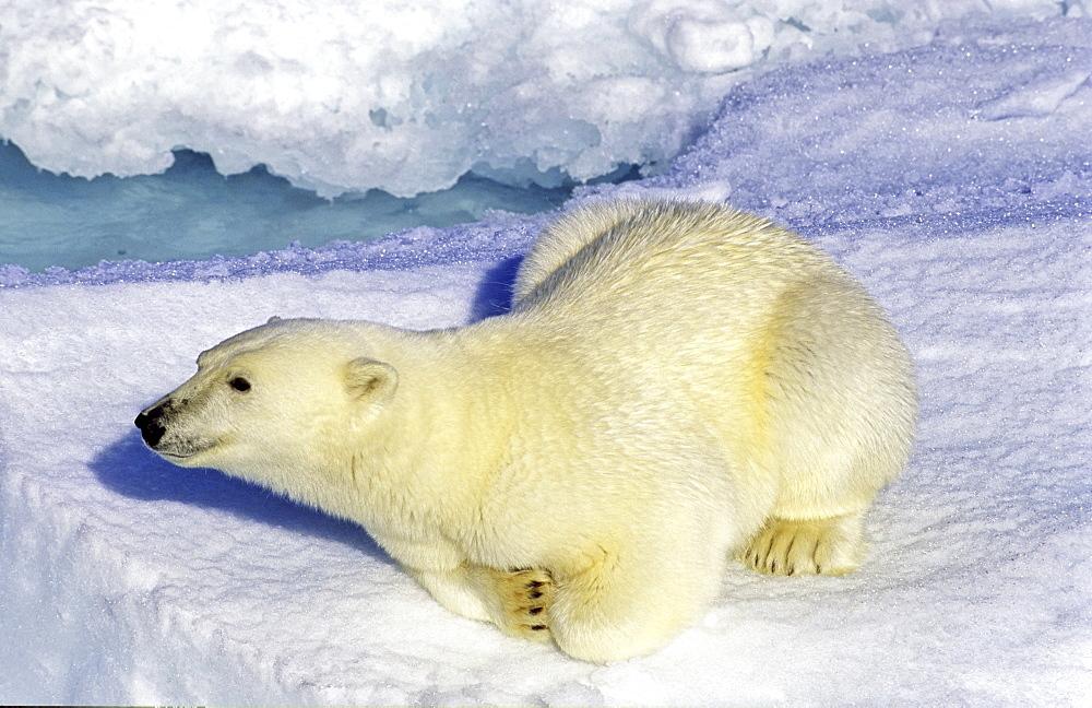 Curious polar bear (Ursus maritimus) on an ice floe. Scoresbysund, East Greenland - 909-30