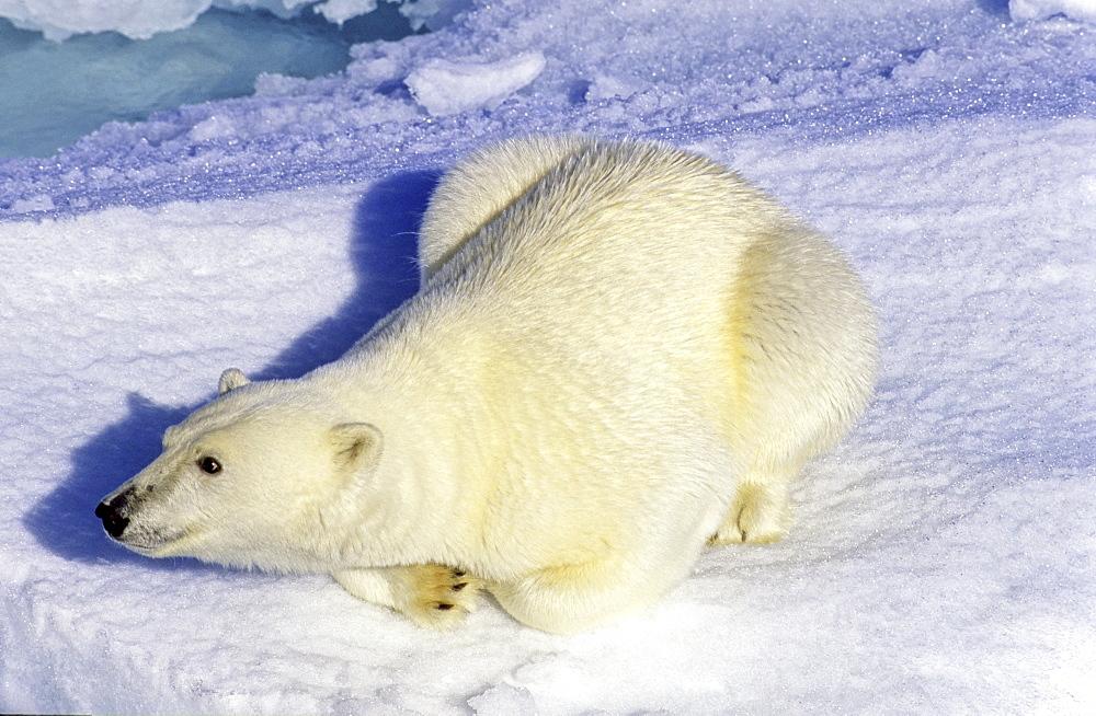 Curious polar bear (Ursus maritimus) on an ice floe. Scoresbysund, East Greenland - 909-31