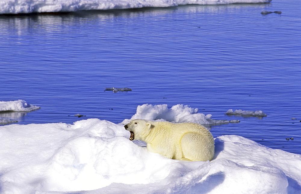 Young polar bear (Ursus maritimus) sitting on an ice floe. Scoresbysund, East Greenland - 909-32