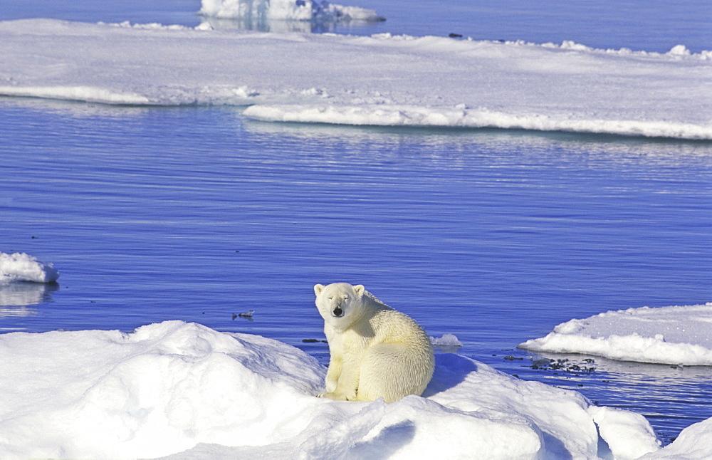 Young polar bear (Ursus maritimus) sitting on an ice floe. Scoresbysund, East Greenland - 909-33