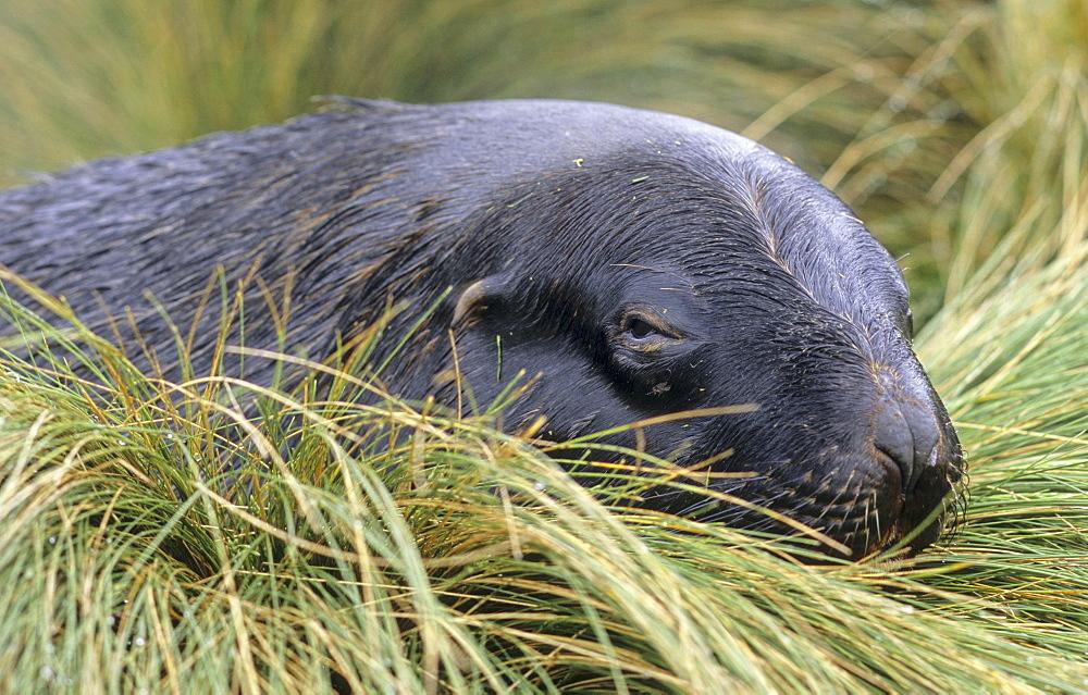 HookerÃs Sea Lion (Phocarctos Hookeri) lying amongst tussock. Campbell Island, Subantarctic New Zealand . - 909-41