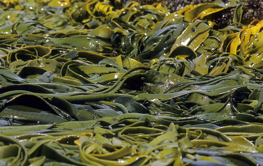 Kelp moved around in the surf. Snares Island, Subantarctic New Zealand.