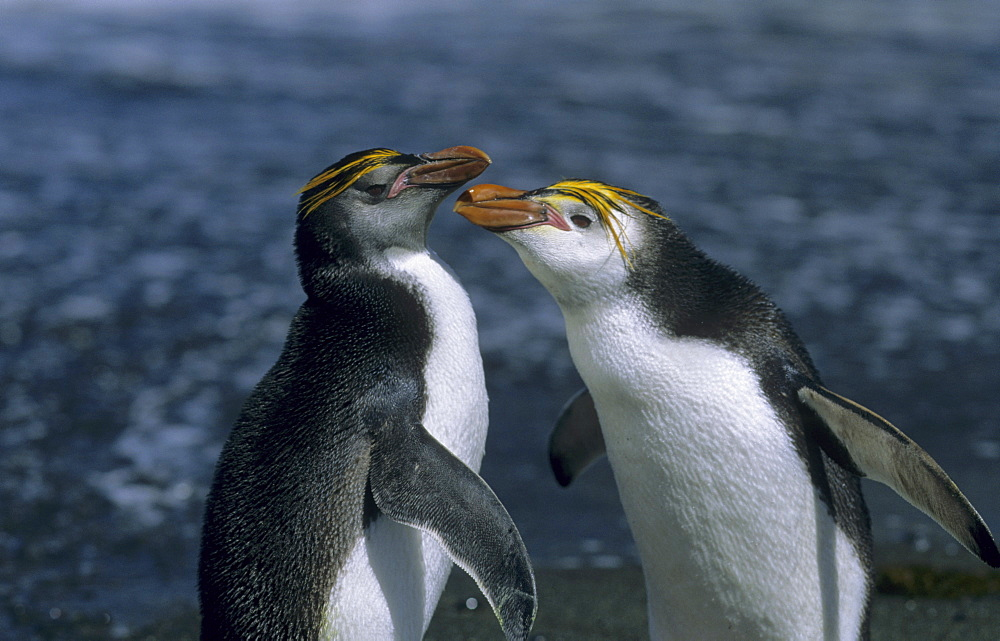 Fighting adult Royal Penguins (Eudyptes Schlegeli). Sandy Bay, Macquarie Island, Subantarctic Australia. - 909-47