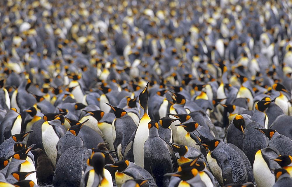 Large colony of King Penguins (Aptenodytes Patagonicus). Sandy Bay, Macquarie Island, Subantarctic Australia. - 909-50