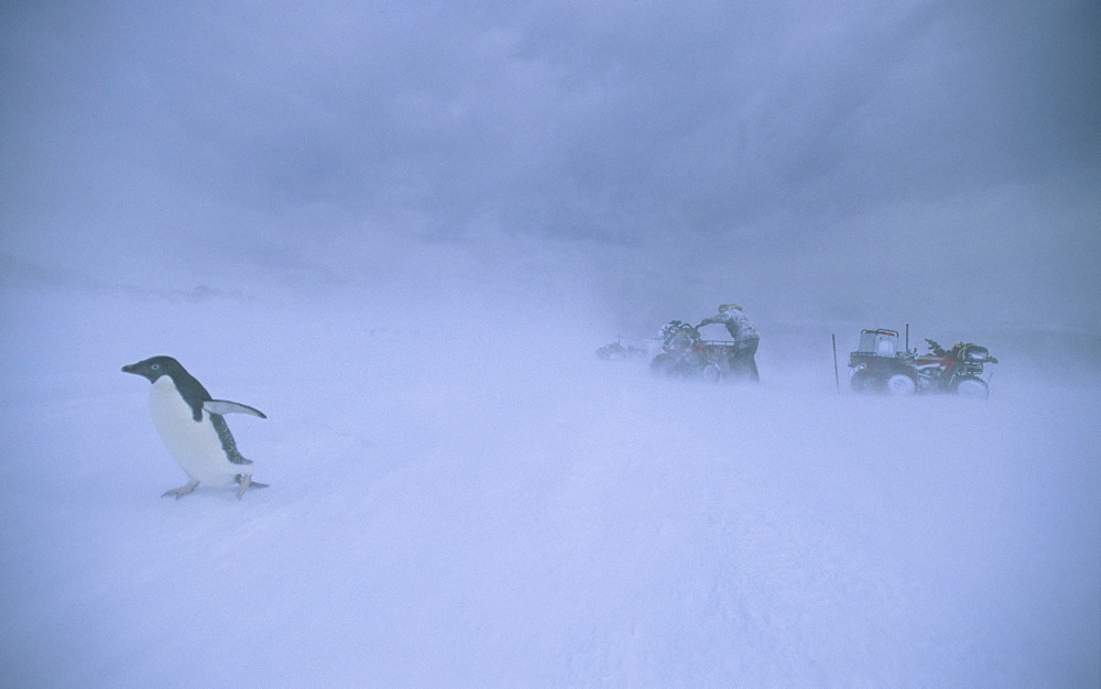 Humans and wildlife struggling in  Antarctic snowdrift. Commonwealth Bay, East Antarctica.