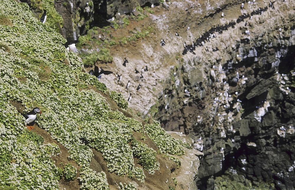 Birdcliffs at Grimsey. Northern Iceland - 909-58