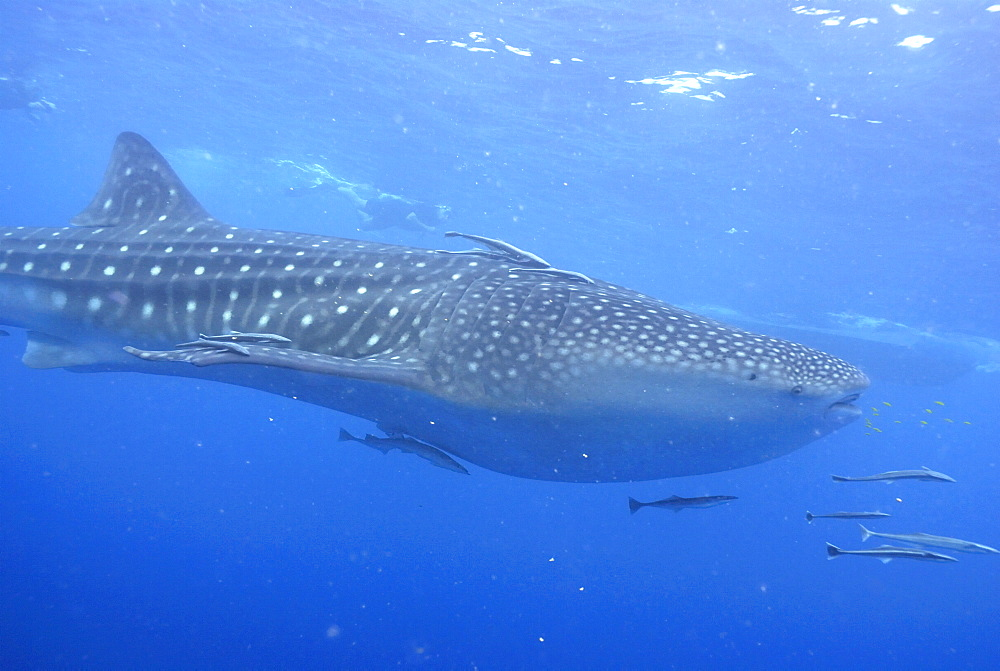 Snorkellers and Whale Shark , Rhincodon typus, Mahe, Seychelles, Indian Ocean