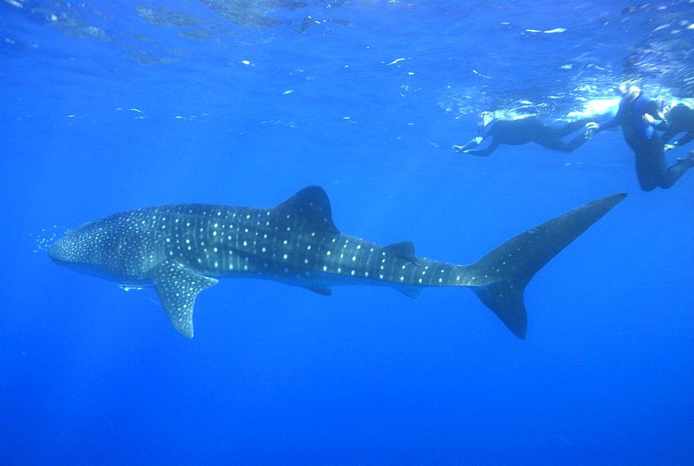Whale shark researcher and Whale Shark , Rhincodon typus, Mahe, Seychelles, Indian Ocean