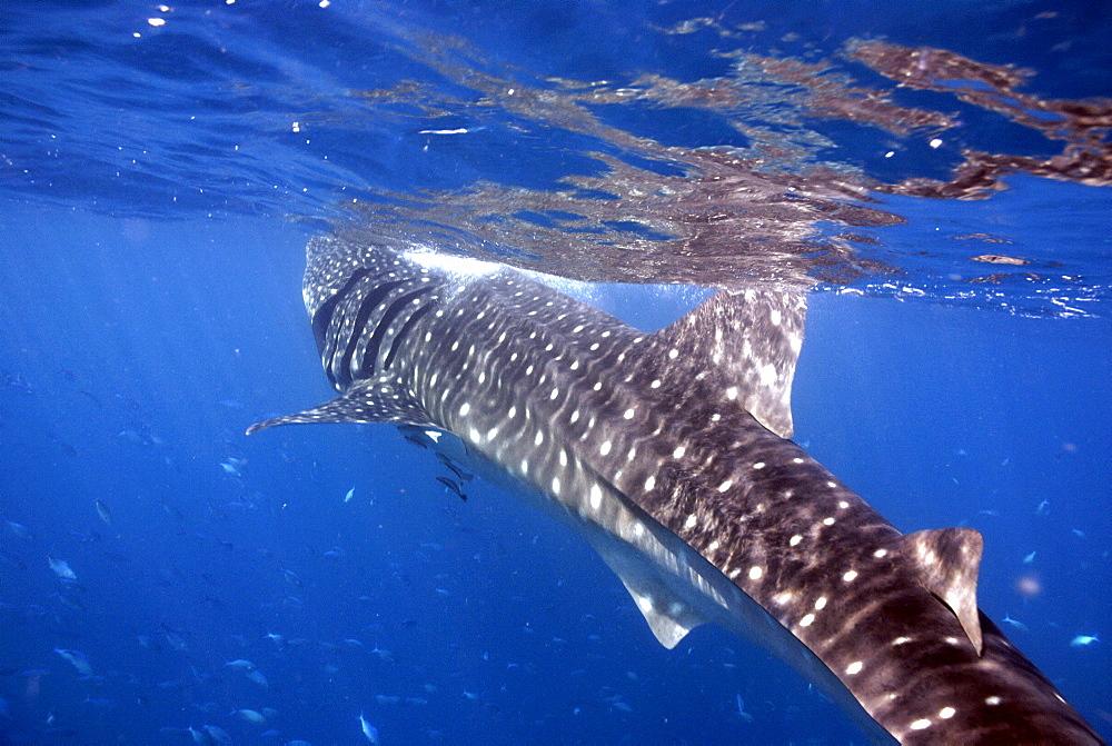 Whale Shark , Rhincodon typus, Mahe, Seychelles, Indian Ocean     (rr)