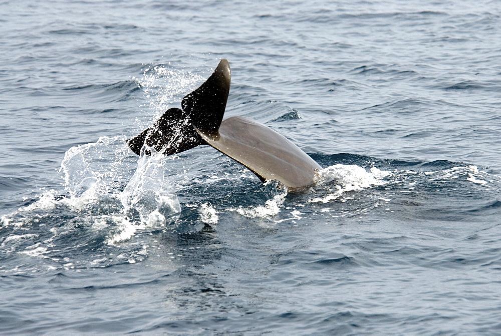Short Finned Pilot Whale (Globicephala Macrorhynchus). Azores, North Atlantic