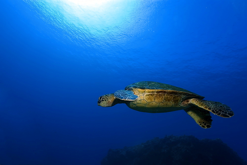 Green sea turtle (Chelonia mydas), Kailua-Kona, Hawaii, United States of America, Pacific - 920-109