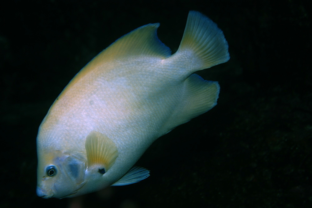 Queen angelfish (Holacanthus ciliaris), endemic and rare white morphotype, St. Peter and St. Paul's rocks, Brazil, South America