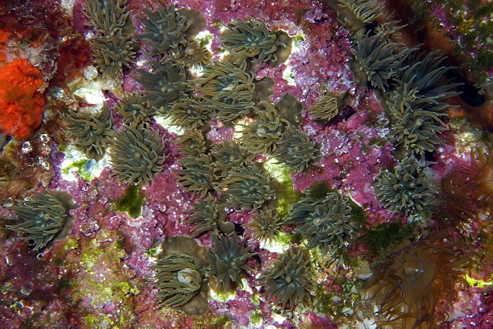 Small encrusting anemones, St. Peter and St. Paul's rocks, Brazil, South America
