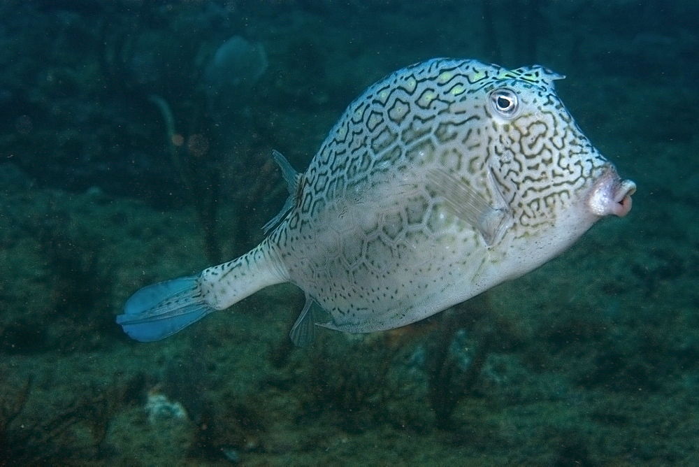 Old honeycomb cowfish (Lactophrys polygonia), Ilha Escalvada, Guarapari, Espirito Santo, Brazil, South America