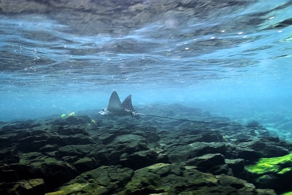 Spotted eagle ray (Aetobatus narinari) swimming close to surface, Fernando de Noronha, Pernambuco, Brazil, South America