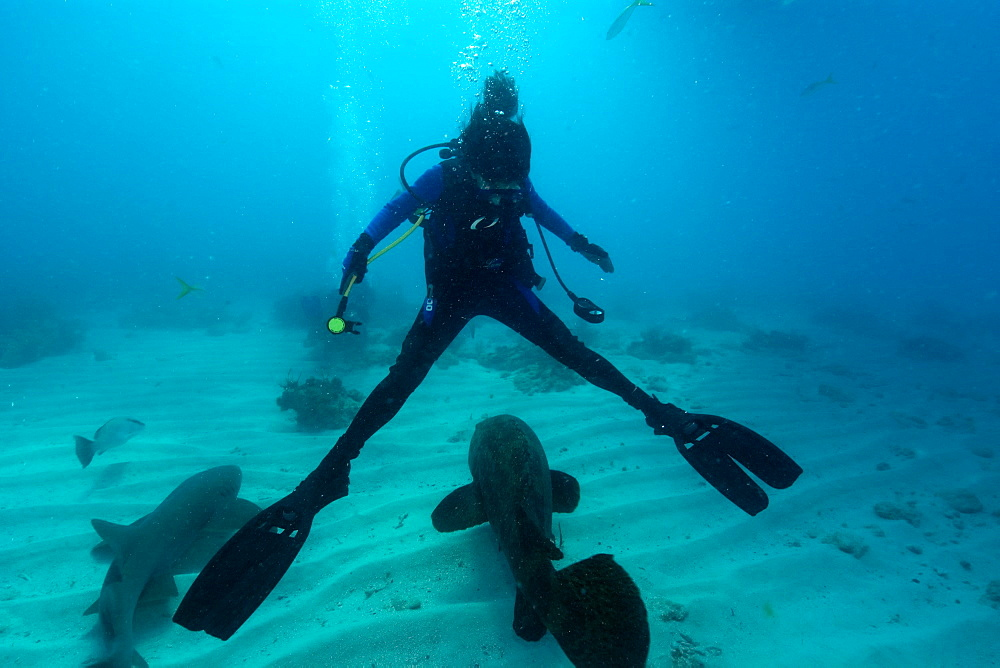 Diver splits legs apart for passing goliath grouper (Epinephelus itajara), Molasses Reef, Key Largo, Florida, United States of America, North America