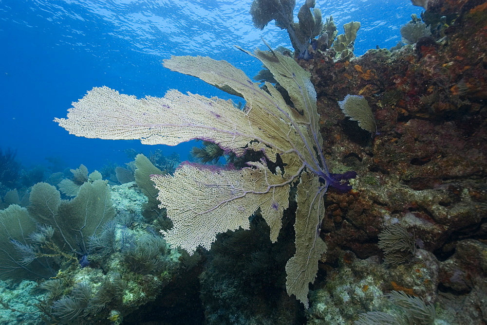 Common sea fan (Gorgonia ventalina), Molasses Reef, Key Largo, Florida, United States of America, Atlantic Ocean, North America