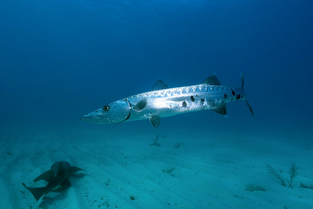 Great barracuda (Sphyraena barracuda), Molasses Reef, Key Largo, Florida, United States of America, North America