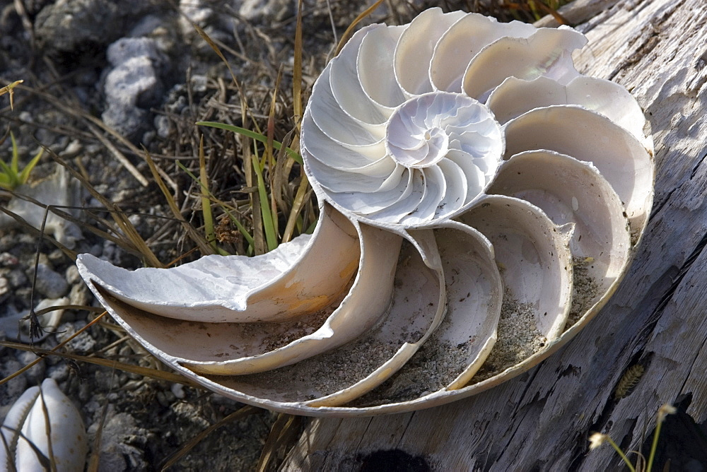Chambered nautilus shell split in half, Rongelap, Marshall Islands, Micronesia, Pacific