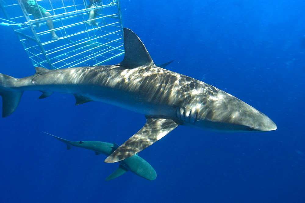Thrill seekers experience cage diving with Galapagos sharks (Carcharhinus galapagensis), North shore, Oahu, Hawaii, United States of America, Pacific