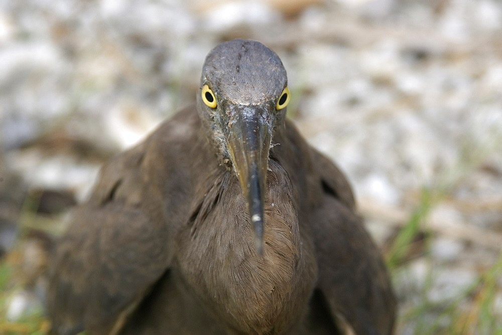 Heron (Butorides sp.), Rongelap, Marshall Islands, Micronesia, Pacific
