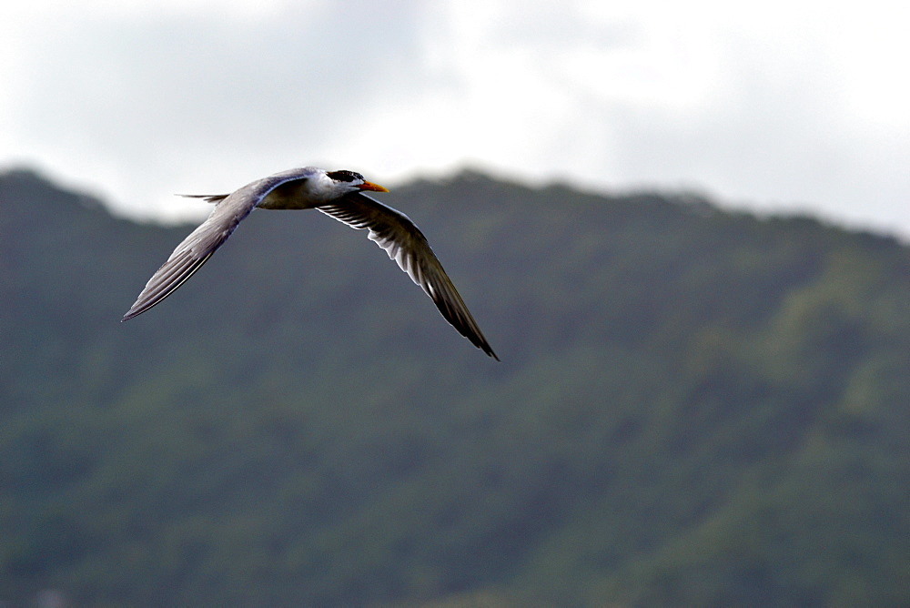 Sea gull in flight, Pohnpei, Federated States of Micronesia, Caroline Islands, Micronesia, Pacific Ocean, Pacific - 920-380