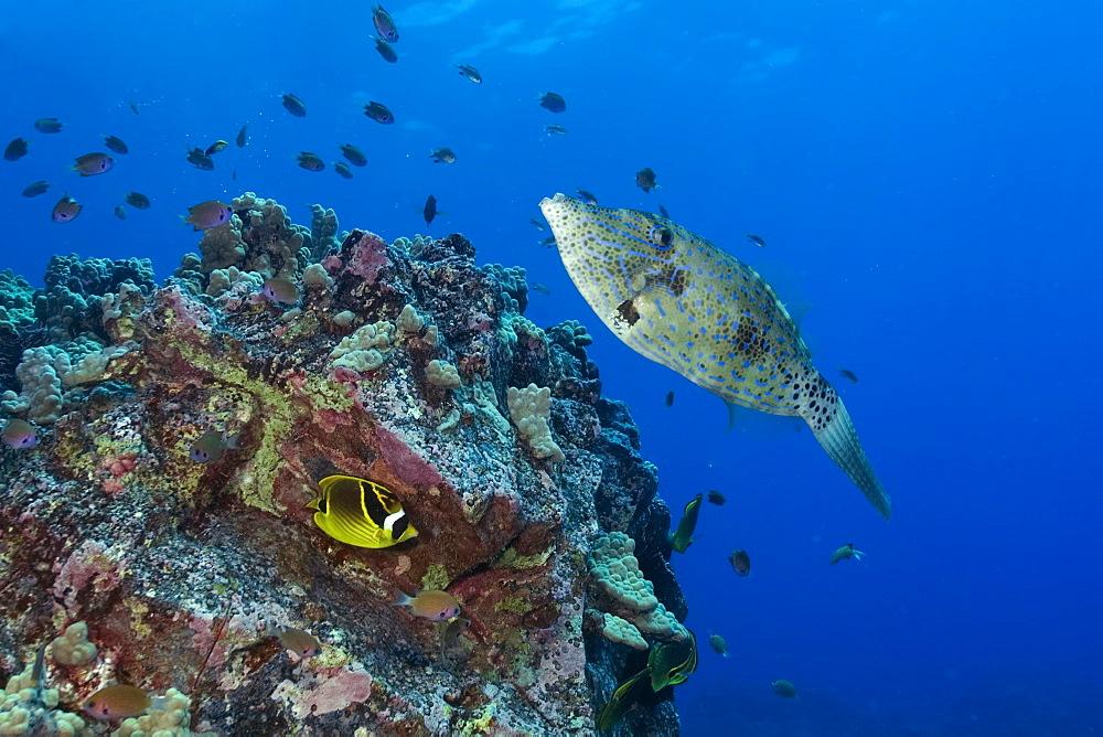 Scrawled filefish (Aluterus scriptus) swims next to reef, Kailua-Kona, Hawaii, United States of America, Pacific