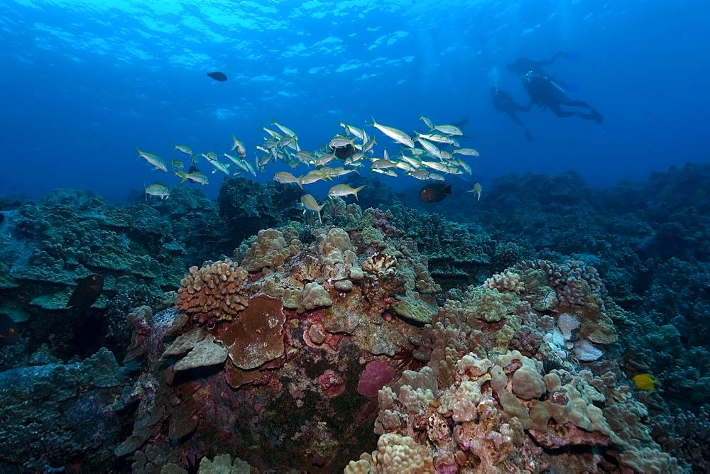 Yellowstripe goatfish (Mulloidichthys vanicolensis), Kailua-Kona, Hawaii, United States of America, Pacific
