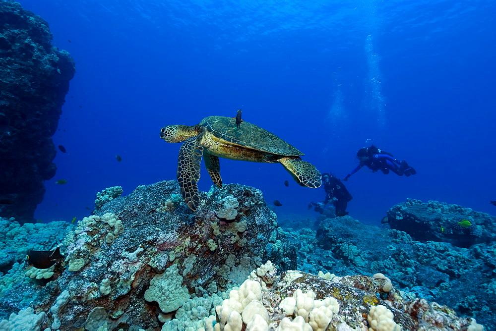 Green sea turtle (Chelonia mydas) and scuba divers,  Kailua-Kona, Hawaii, United States of America, Pacific