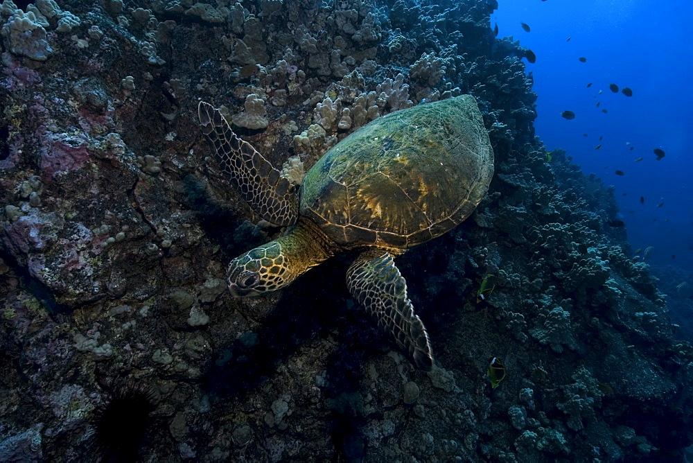 Green sea turtle (Chelonia mydas), Kailua-Kona, Hawaii, United States of America, Pacific