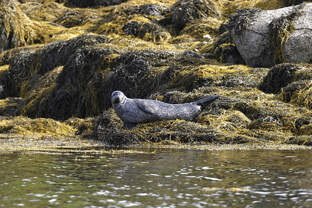 Harbour / Common seal (Phoca vitulina). NE Scotland (A4 only). - 930-111