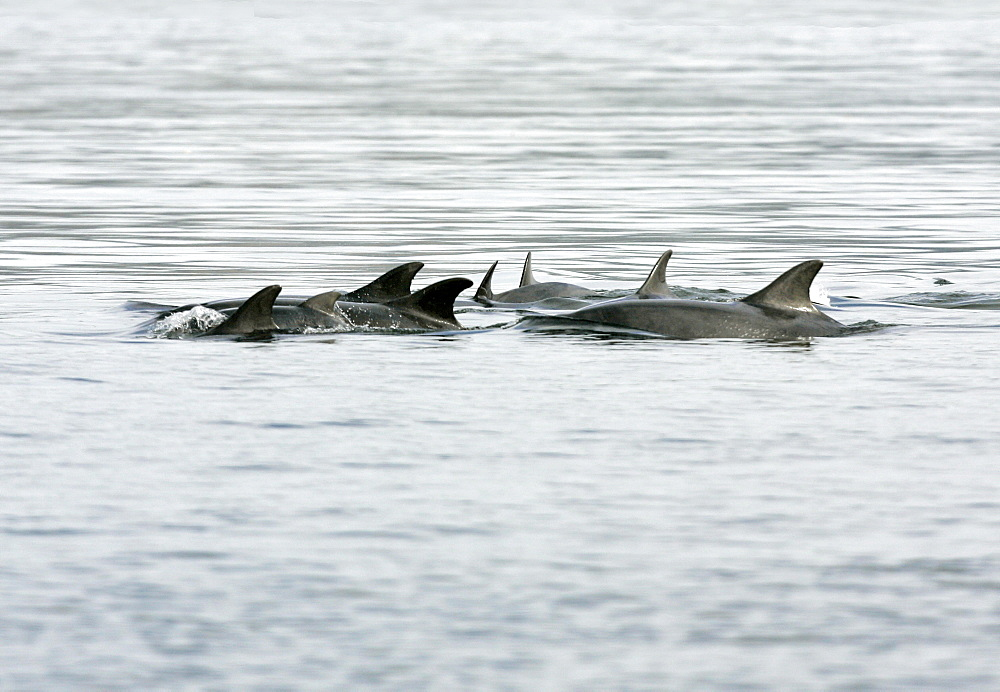 A group of resident bottlenose dolphins (Tursiops truncatus) travel through the Moray Firth, Scotland. This is a mother and calf group in calm water exhibiting resting behaviour. - 930-36