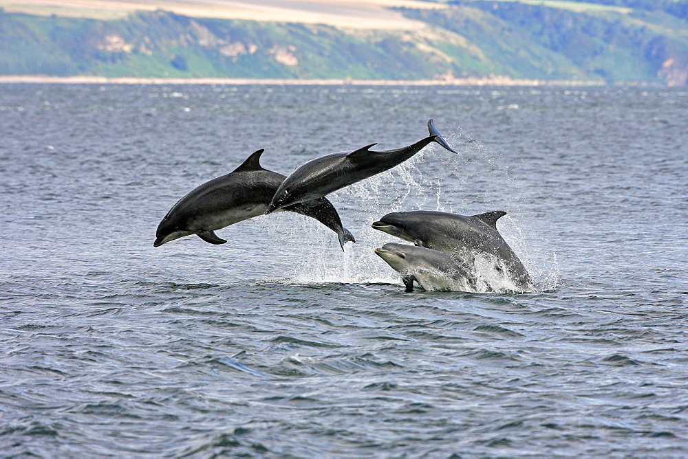 A calf and three adult bottlenose dolphins (Tursiops truncatus) breaching from the water, Moray Firth, Scotland. - 930-38