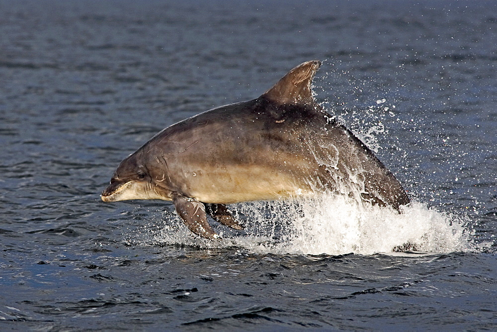 An adult bottlenose dolphin (Tursiops truncatus) breaching from the water in the early evening showing scarring on dorsal fin and body marks, Moray Firth, Scotland
