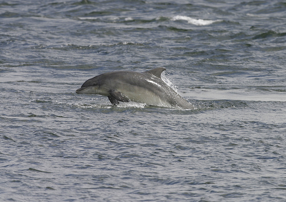 Bottlenose dolphin (Tursiops truncatus truncatus) leaping at speed with most of its body clear of the water. Moray Firth, Scotland - 930-5
