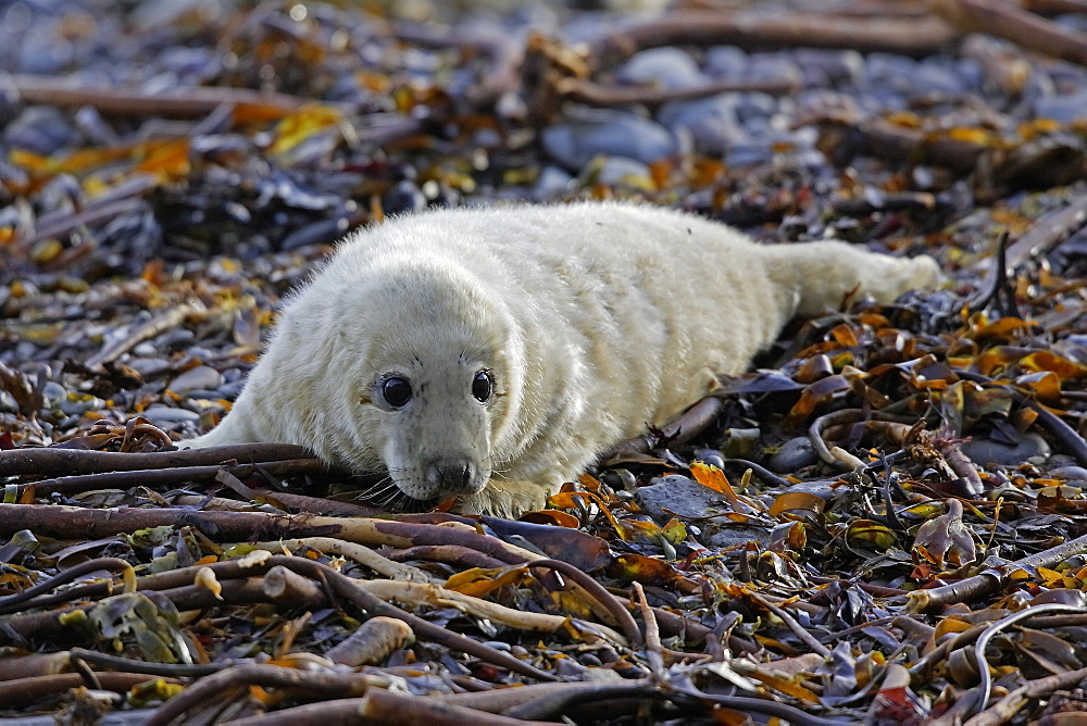 A Grey Seal pup (Halichoerus grypus) resting on seaweed looking right at the camera, Pentland Firth, Scotland.