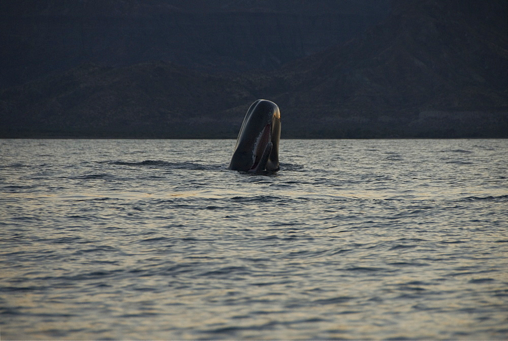 Sperm whale. (Physeter macrocephalus). A sperm whale breaches with its mouth open. Gulf of California.