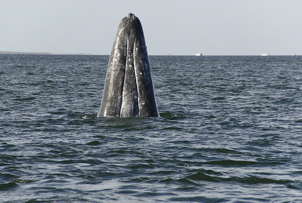 Gray whale (Eschrichtius robustus). A grey whale head rises vertically out of the water. Mexico. - 931-83