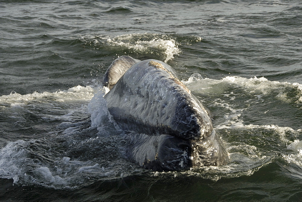 Gray whale (Eschrichtius robustus). The head of a gray whale. Mexico. - 931-84