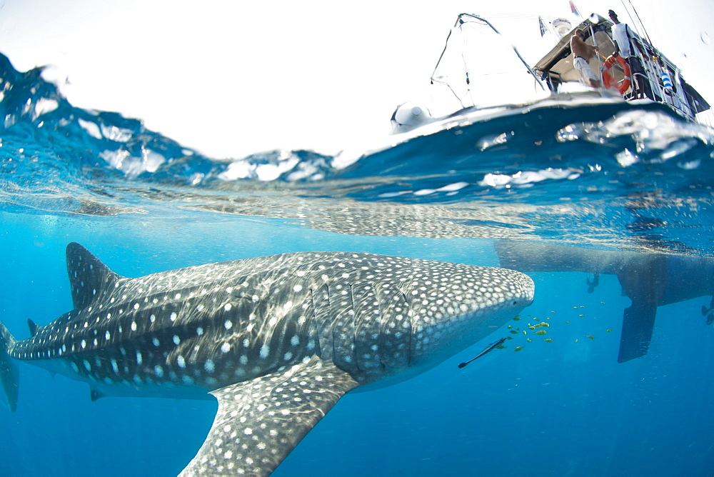 Whale shark, Sakatia Island, Madagascar, Indian Ocean, Africa