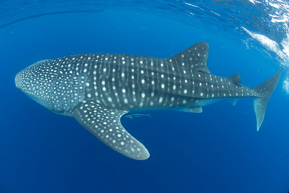 Whale shark, Madagascar, Indian Ocean, Africa - 934-771
