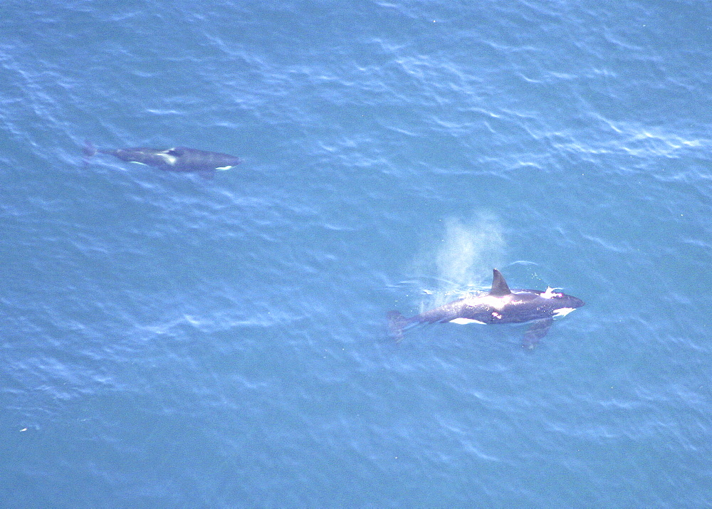 Aerial of Orca or Killer Whale (Orcinus orca). Gulf of Maine, USA.    (rr) - 947-2