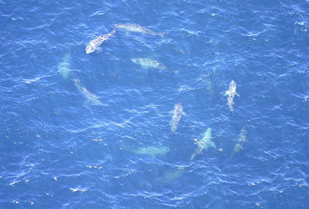 Aerial of Basking Sharks (Cetorhinus maximus). Gulf of Maine, USA.   (rr) - 947-51