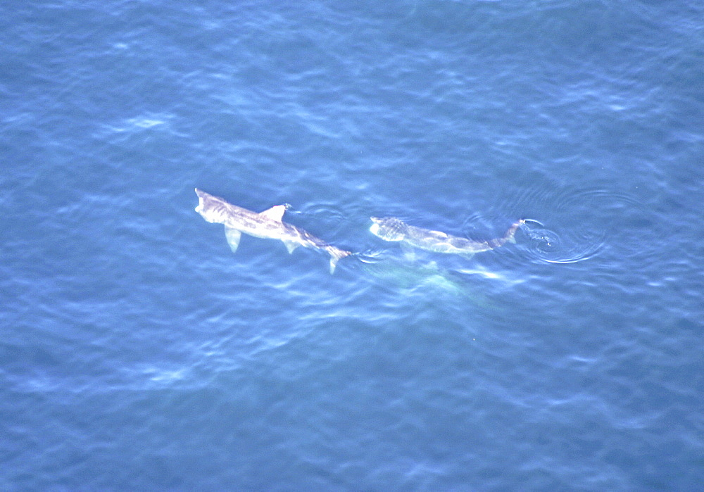 Aerial of Basking Sharks (Cetorhinus maximus). Gulf of Maine, USA.   (rr) - 947-52