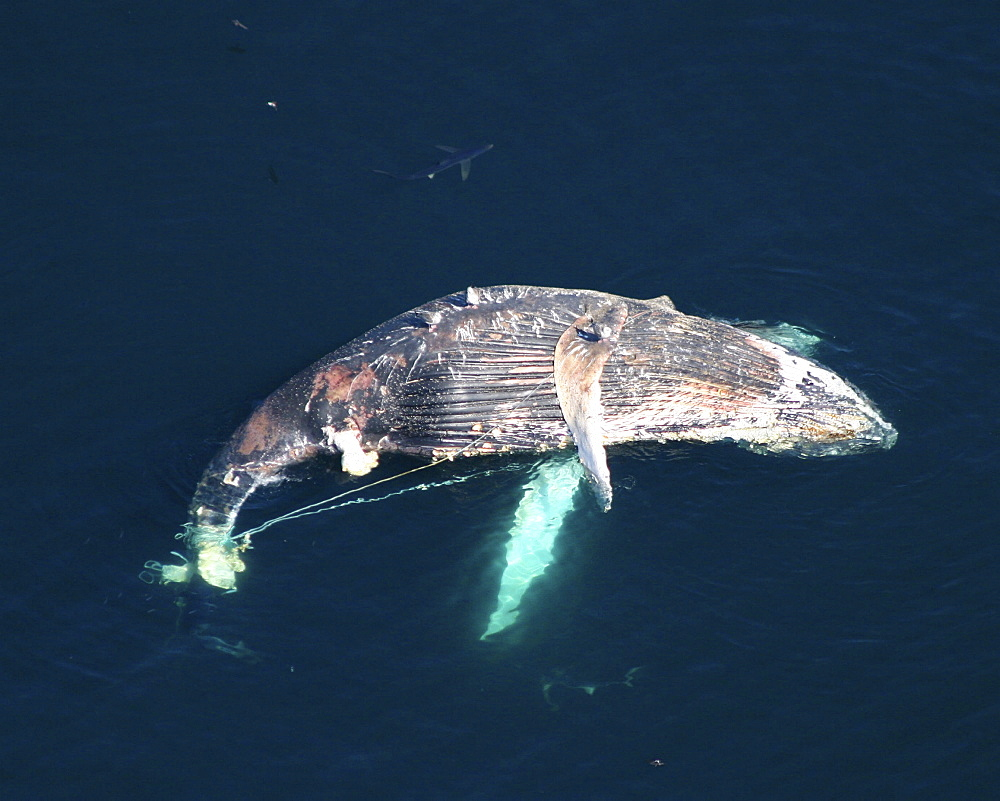 Aerial of dead Humpback whale (Megaptera novaeangliae) caught in fishing line.  Gulf of Maine, USA.   (rr) - 947-67